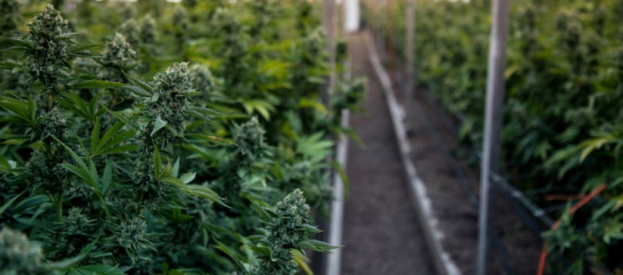 Photo for: Best Cannabis Growers in The World